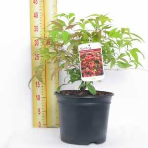 Nandina Domestica Fire Power (Heavenly Bamboo) 3Ltr
