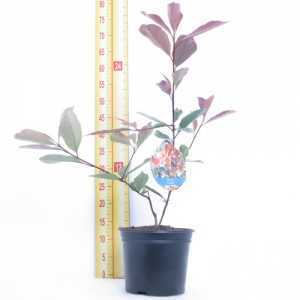 Photinia Fraseri Louise 3.6Ltr