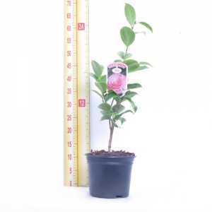 Camellia Japonica Kerguelen 14cm Pot