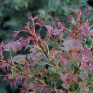 Acer Palmatum 'Ample Sunrise'