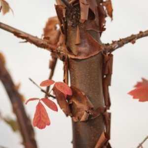 Acer Griseum Paperbark Maple 125cm 18Ltr