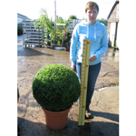 Buxus Sempervirens Ball (Box Hedge Ball/Topiary Ball) 65cm Set of 2