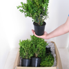 Box Hedging (Buxus Sempervirens) Topiary 20-25cm 1Ltr - 25 Per Box