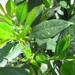 Prunus Laurocerasus (Laurel) Otto Luyken