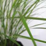 Stipa Arundinacea (Amenanthele Lessoniana)