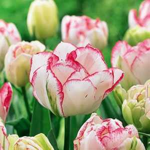 Tulip Bulbs Double Late Cartouche 10 Per Pack