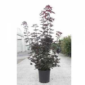 Acer Platanoides Crimson King 8-10cm Girth Container Grown