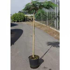 Albizia Julibrissin 'Ombrella' 15Ltr 120cm Standard