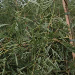 Alnus Glutinosa 'Imperialis' Alder Imperialis 175cm 10ltr