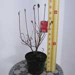 Azalea Knaphill Nabucco 5 litre Pot