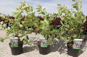 Amelanchier Lamarckii (Juneberry)