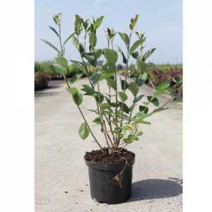 Aronia Arbutifolia 'Brilliant' Chokeberry