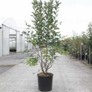 Aronia Arbutifolia 'Brilliant' 18Ltr 80-100cm