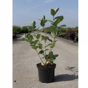 Aronia Prunifolia 'Aron' Chokeberry