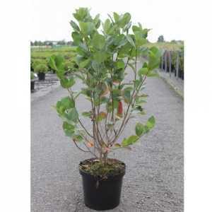 Aronia Prunifolia 'Aron'  Black Chokeberry 10Ltr 60-80cm
