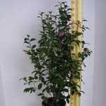 Camellia Japonica Pink 5 Litre Pot