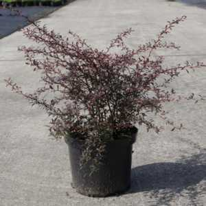 Berberis Thunbergii 'Red Dream'