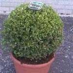 Buxus Sempervirens Ball (Box Ball) Box Hedge 12Ltr