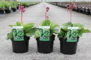Bergenia Cordifolia Purpurea (Heart-Leaf Bergenia/Elephant Ears)