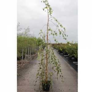 Betula Pendula 'Youngii' Youngs Weeping Birch 7.5Ltr 150cm+