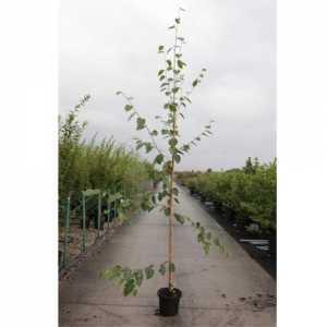Betula Utilis 'Jacquemontii' Himalayan Birch 180cm + 15ltr
