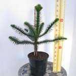 Araucaria Araucana (Monkey Puzzle Tree) 60cm 5ltr
