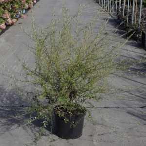 Buddleia Alternifolia 10Ltr 60-80cm