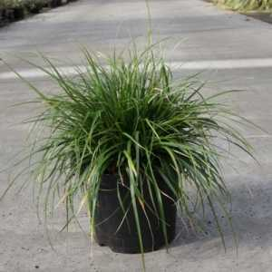 Carex Oshimensis EVERDI Ornamental Grass