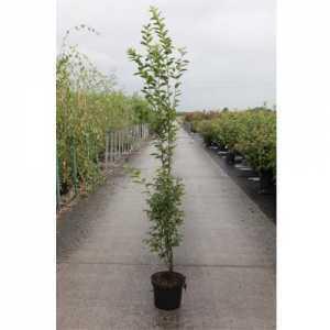 Carpinus Betulus 'Fastigiata' Hornbeam 125cm 5ltr