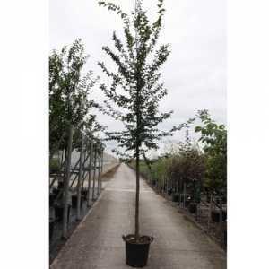 Carpinus Betulus (Hornbeam)  35Ltr 10-12 Standard