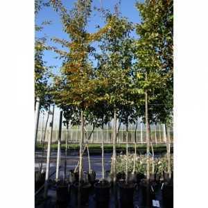 Carpinus Betulus (Hornbeam) 30Ltr 8-10 Standard
