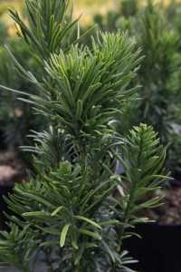 Cephalotaxus Harringtonia 'Fastigiata' 10Ltr 60cm+