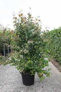 Cercidiphyllum Japonicum Katsura Tree