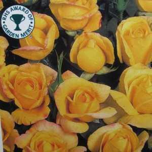 Chinatown Floribunda Rose