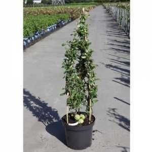 Chaenomeles Speciosa Nivalis (Flowering Quince) 10Ltr 60-80cm Pyramid