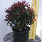 Photinia x Fraseri 'Little Red Robin' (Hedging) 15 Litre Pot