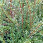 Taxus baccata (English Yew) 3 Litre Pot  50cm
