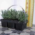 Lavender (Lavandula) Angustifolia English  Tray of 6 Plants