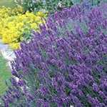 Lavender (Lavandula) Angustifolia Tray of 6 Plants