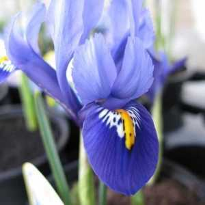 Iris 'Harmony' Potted Bulbs 13cm
