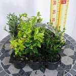 Euonymus Evergreen Mixed Pack - 6 in a Tray