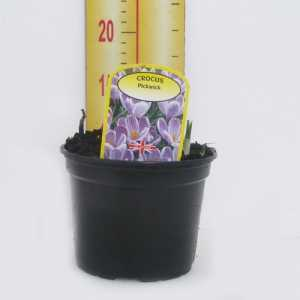 Crocus 'Pickwick' Potted Bulbs 13cm