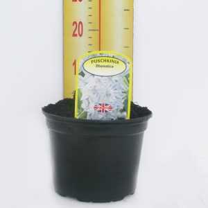 Puschkinia Libanotica Potted Bulbs 13cm