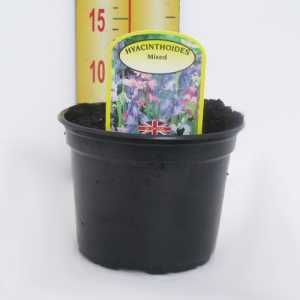 Hyacinthoides Mixed Potted Bulbs 13cm
