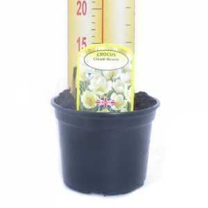 Crocus 'Cream Beauty' Potted Bulbs 13cm