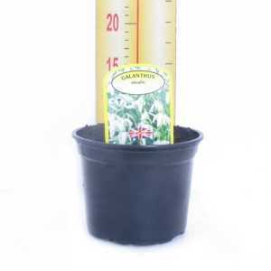 Galanthus Nivalis Single Snowdrop Potted Bulbs 13cm
