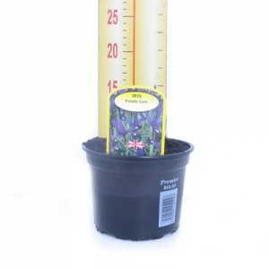 Iris 'Purple Gem' Potted Bulbs 13cm