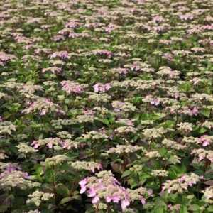 Hydrangea Macrophylla Endless Summer Twist and Shout 5Ltr