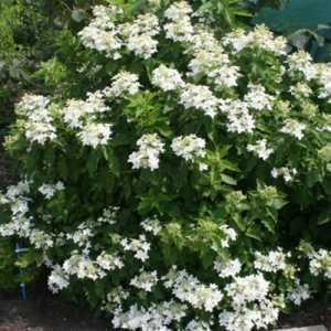 Hydrangea Paniculata Magical Starlight 3.5Ltr