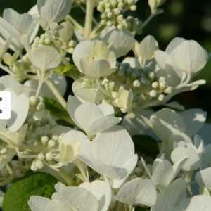 Hydrangea Paniculata White Diamonds
